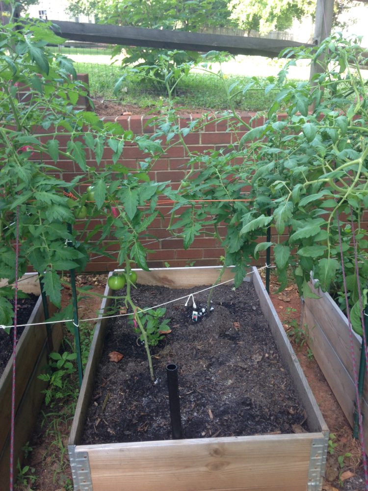 Tomatoes on support string system